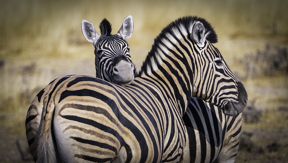 Zebras demonstrate the true meaning of friendship.