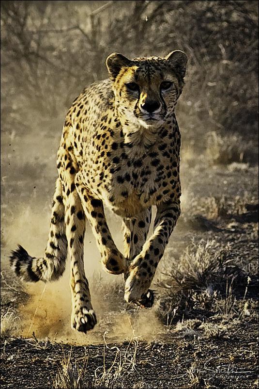 Cheetah Srint, Namibia, Africa