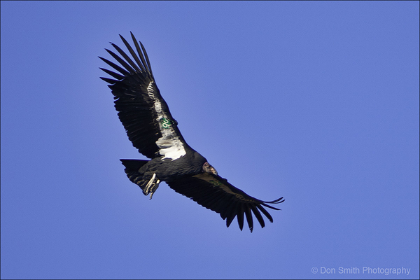 California Condor #26, Pinnacles National Park, CA