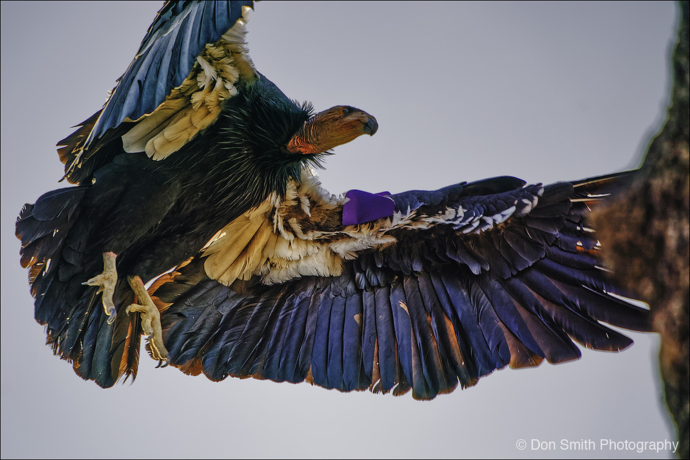 Inbound, California Condor, Pinnacles NP.