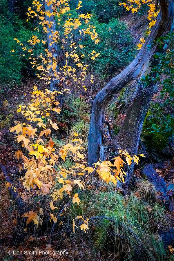 Sycamores, Bear Gulch Trail, Pinnalces NP