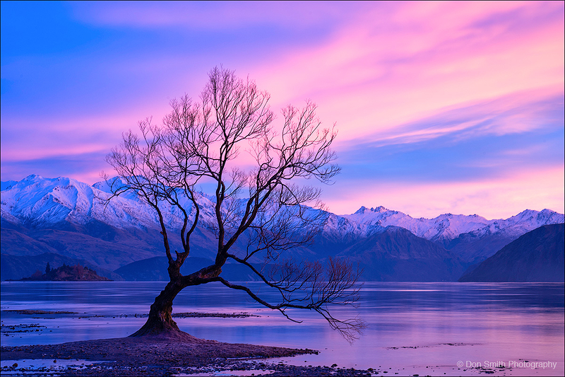 Wanaka Willow and Dawn Light, New Zealand