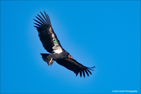 California Condor at Pinnacles National Park