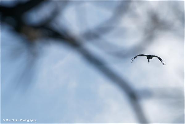 California Condor Soars at Pinnacles National Park