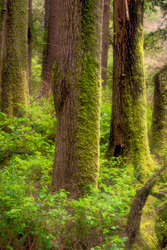 Lush Oregon Forest and Rainy Day