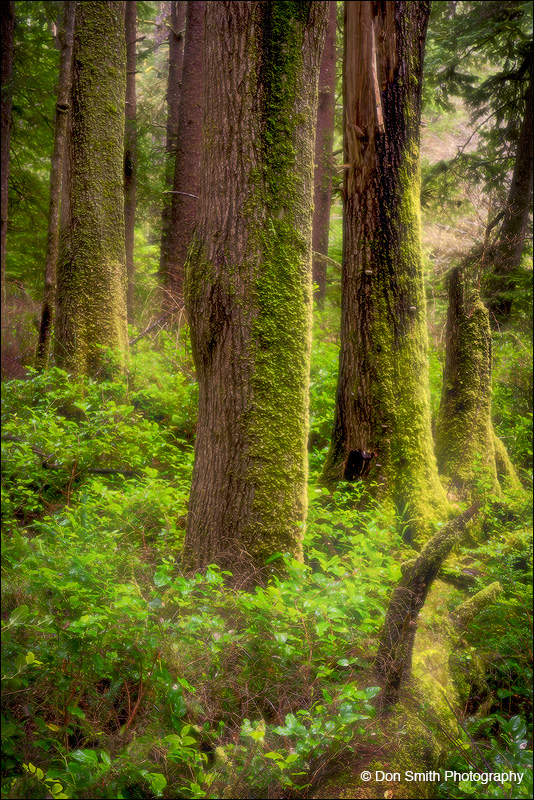 Lush Oregon Forest and Rainy Day