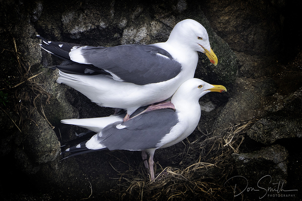 Seaguls - Private Moment - Big Sur, California