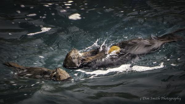 Harbor Seals Eating, Point Lobos, Big Sur Coast