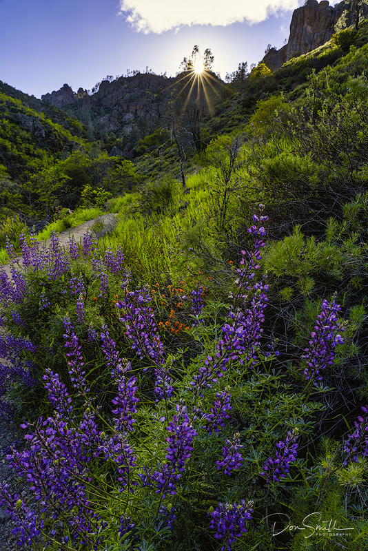 Lupines and Indian Paintbrush, Pinnacles NP