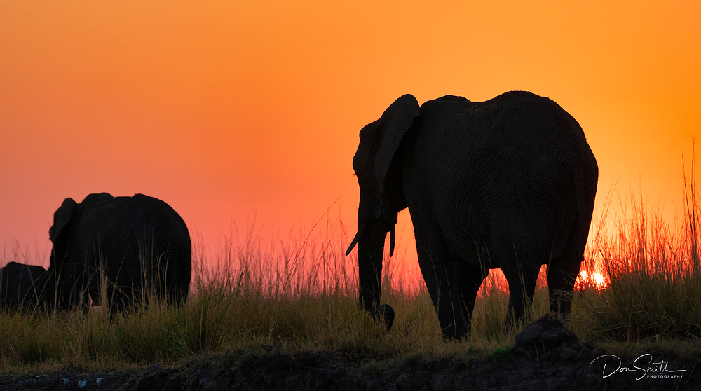 Elephant Walk at Sunset, Kasane, Botswana