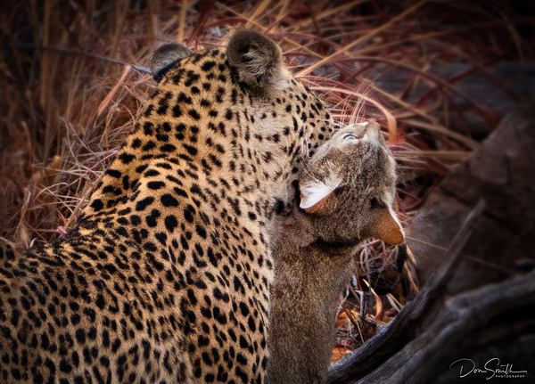 Leopard Kill of Wild Cat in Savute, Botswana