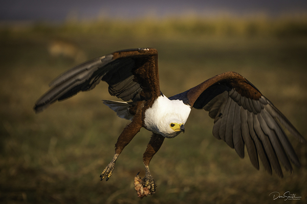 Fish Eagle and Meat, Chobe River, Botswana, Africa