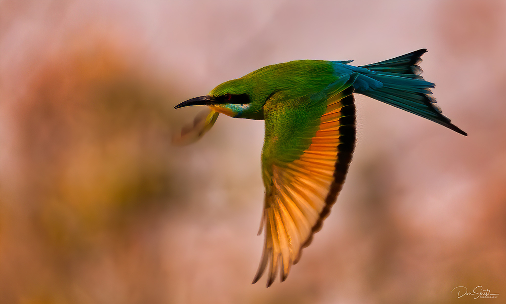 African Bee Eater in Flight, Botwana