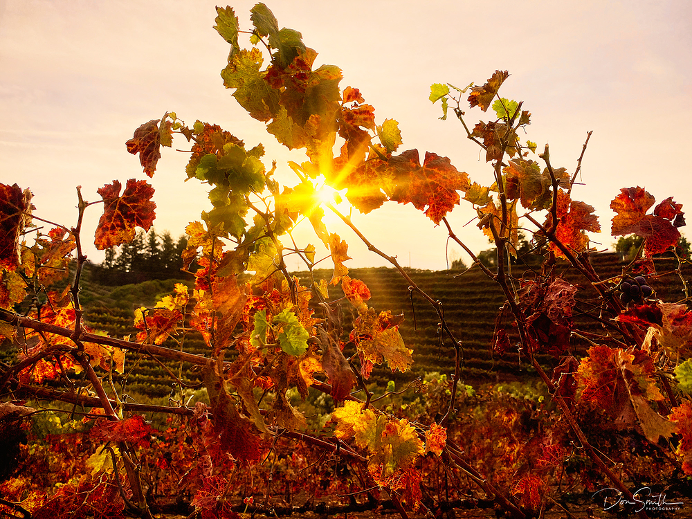 Fall Vineyards, Leal Winery, Central California