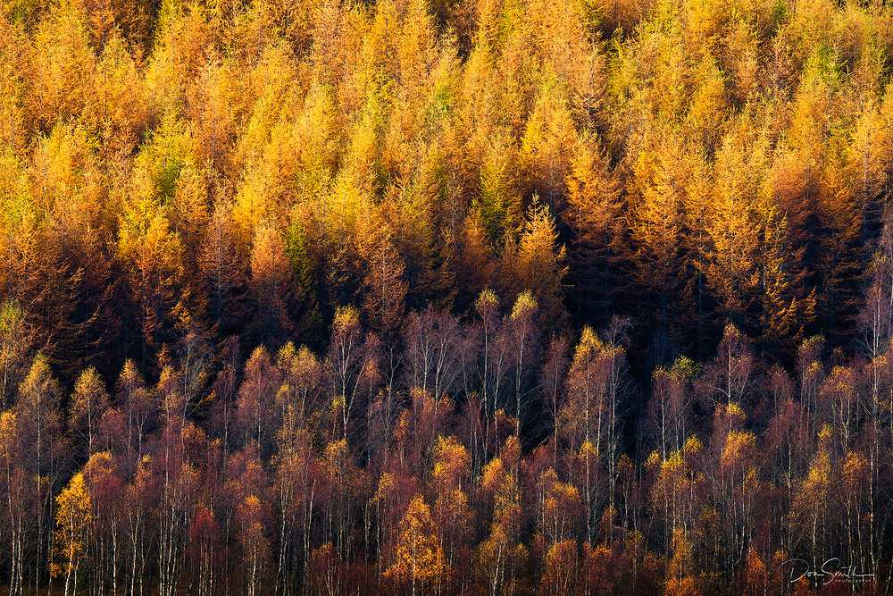Yelow Pines, Scotland Highlands, United Kingdom