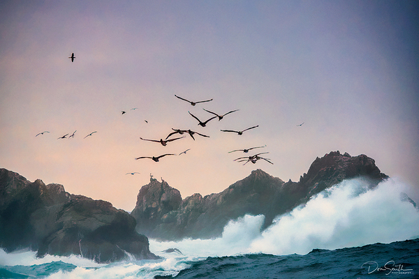 Pelicans and Gulls, Pt Lobos State Reserve
