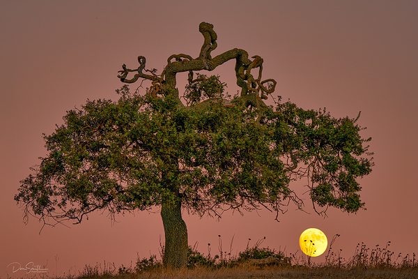 November Beaver Moon and Blue Oak, California