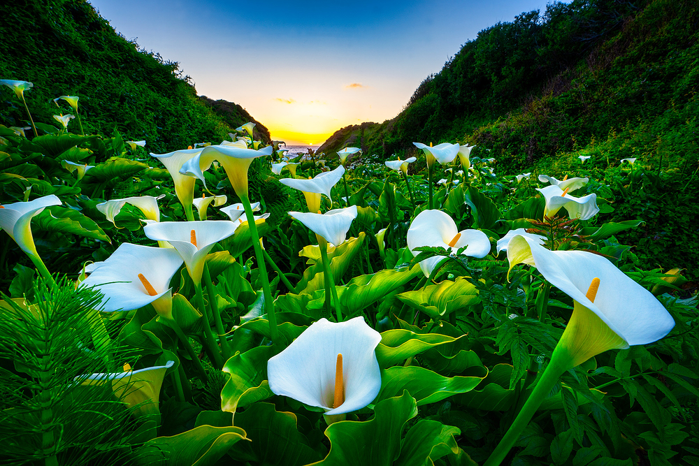 Calla Lilies, Big Sur Coast, California