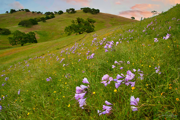 Wildflowers and Oaks, Pacheco Pass, California