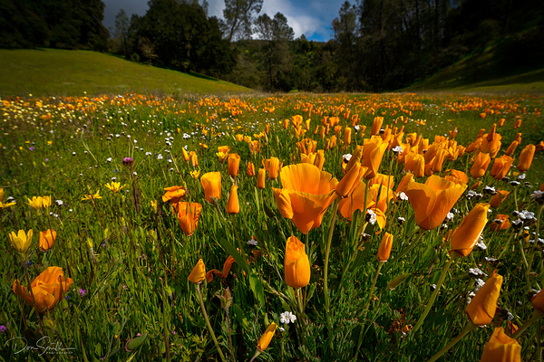 Closing up for the Day, California Golden Poppies,