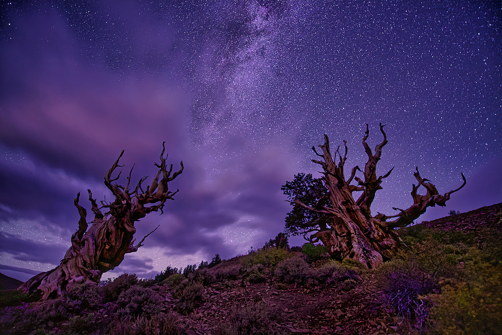 Milky Way Over Bristlecone Pines, California