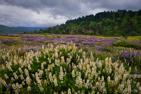 Fields of Lupine, Northern California