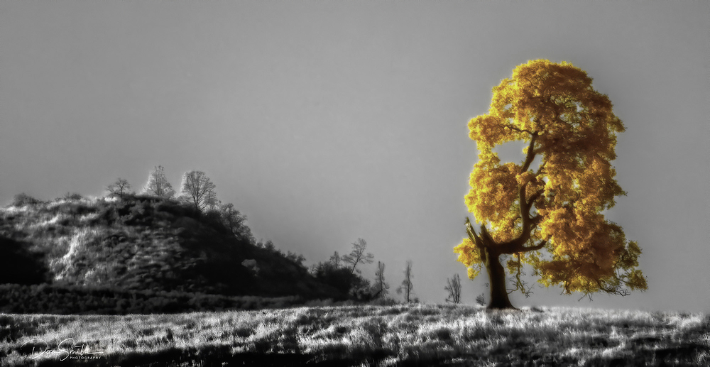 Infrared Oak Near Pinnavcles National Park