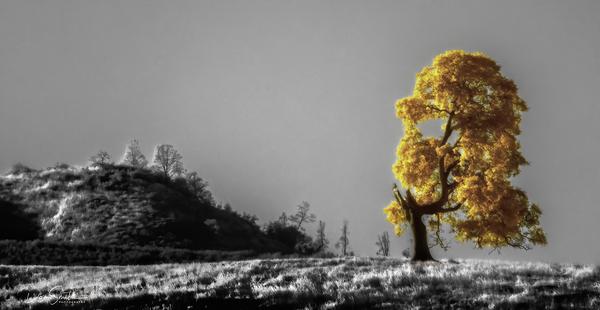 Infrared Oak Near Pinnavcles National Park
