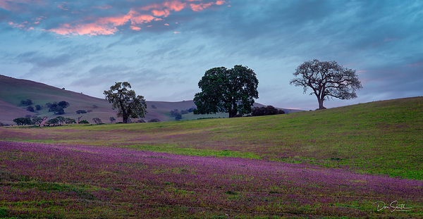 Owl's Clover and Oaks - California