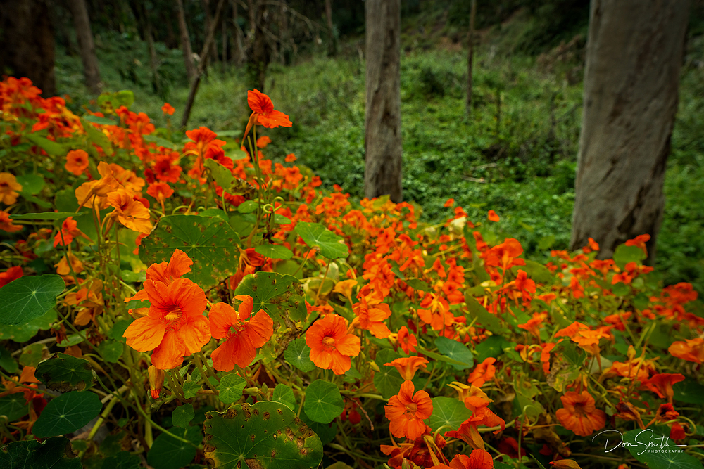 Nasturtiums and Eucalyptus Trees