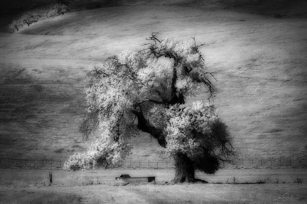 Coastal Live Oak in Infrared