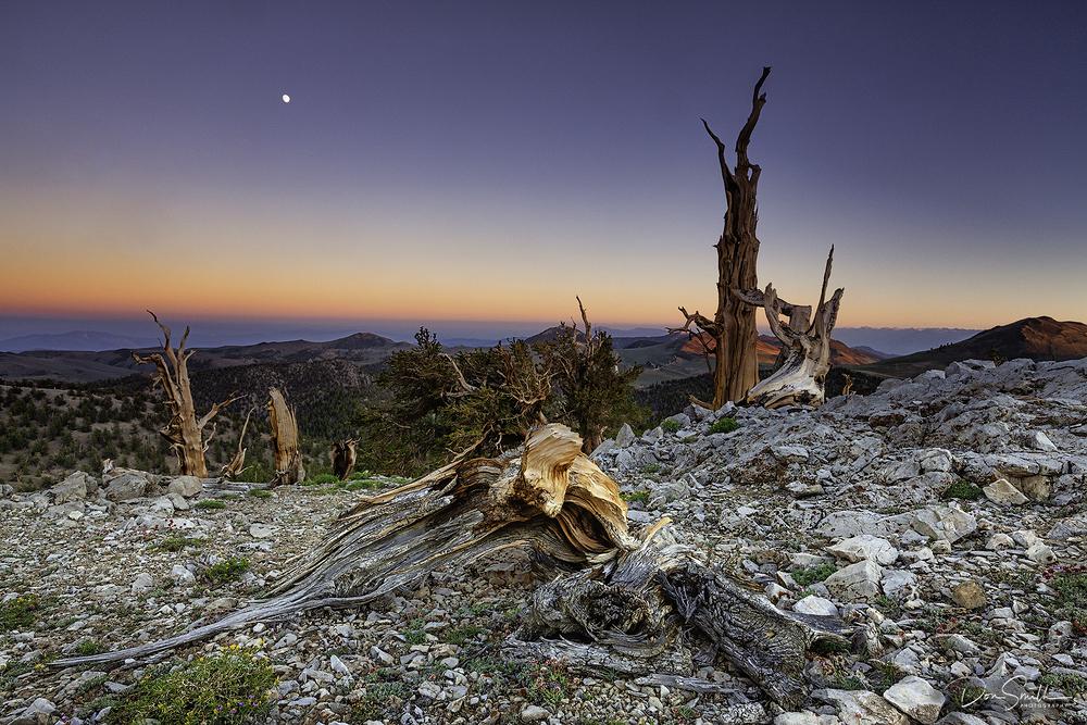 Bristlecone Pines, White Mountains, California