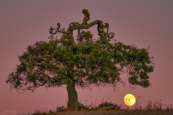 Valley Oak and Moon, Central California
