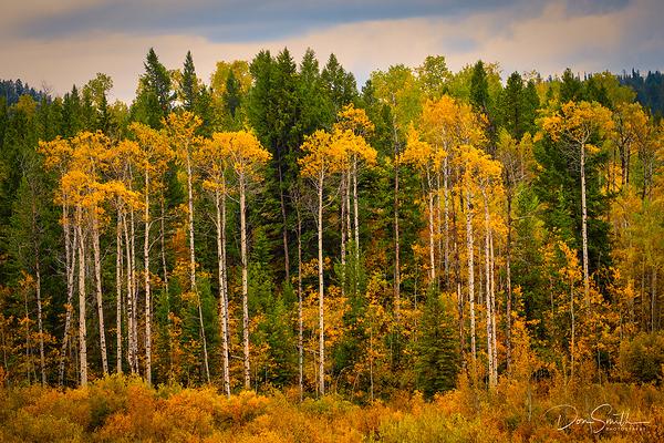 Aspens and Evergreens, Grand Teton NP