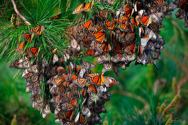 Monarch Butterflies, Pacific Grove, California