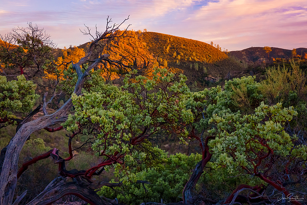Manzanita and Sunset Sky, Pinnacles National Park