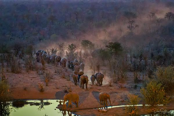 Elephants Walk to Water Hole, Zimbabwe