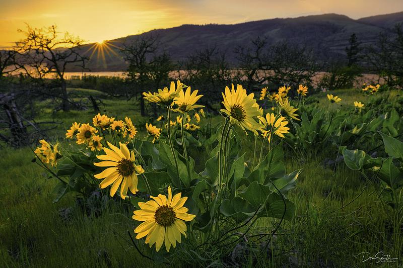Balsamroot and Columbia River, Oregon