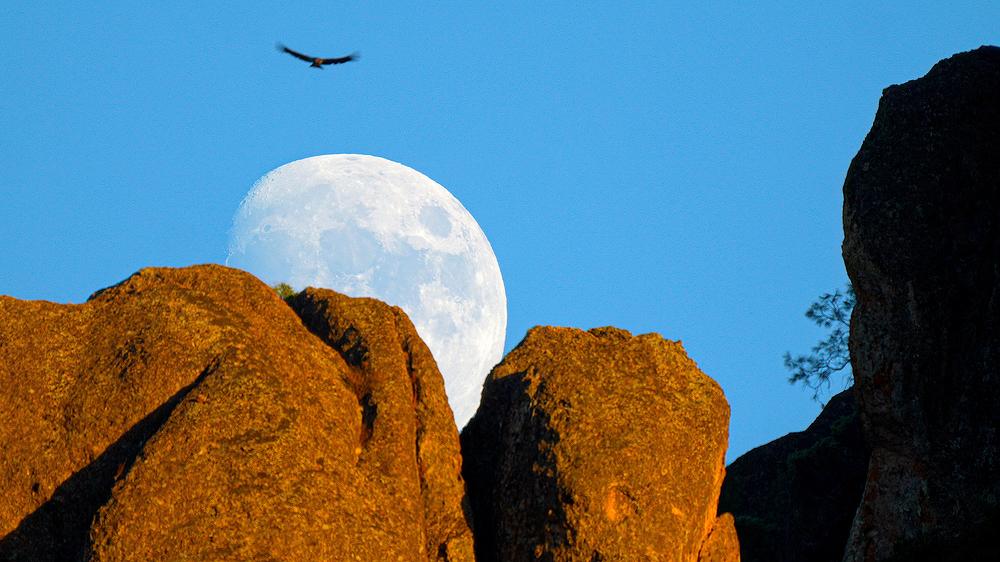 California Condor and Rising Moon, Pinnacles NP