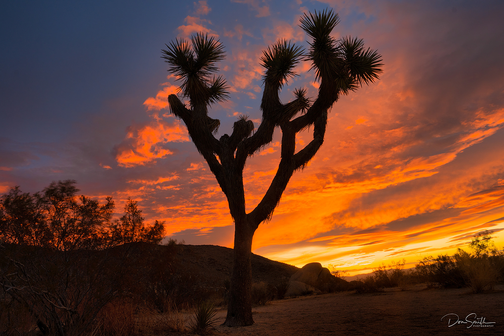Joshua Tree Against Sunrise Sky