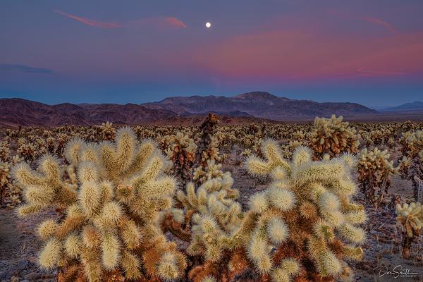 Cholla Cactus Gardens - Joshua Tree NP
