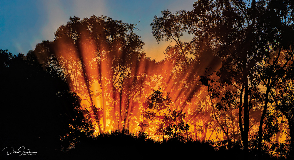 Sunlit Fog and Eucalyptus Trees, California