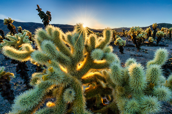 Sunset Over Cholla Cactus, Joshua Tree NP