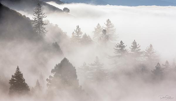 Monterey Pines in the Mist - Big Sur Coast