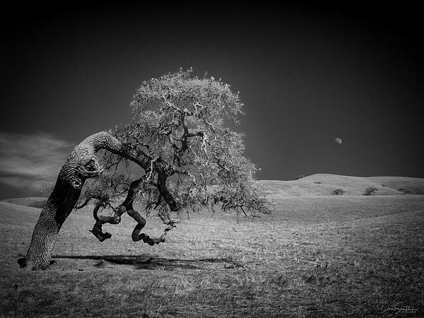 Moonrise and Valley Oak in IR, California