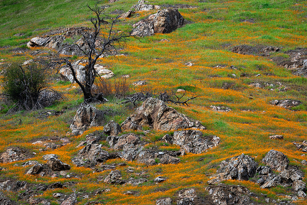 Poppies, Merced River Canyon, California
