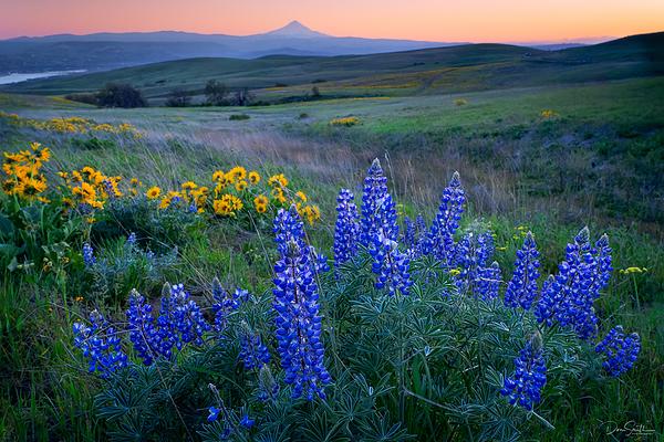 Wildflowers and Mt. Hood, Southern Washington