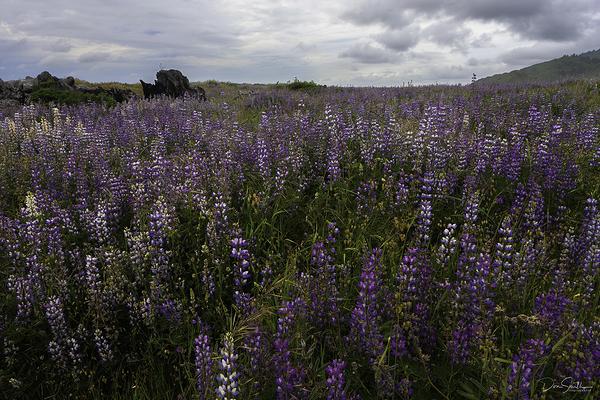 Lupine Fields, Northern California Coast
