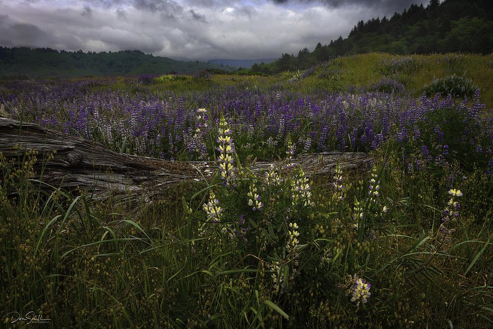 Lupine Field, Northern California Coast