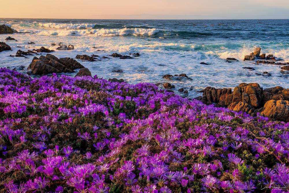 Flowering Ice Plants, Pacific Grove, California